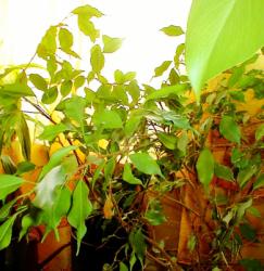 verstaubte bltter an pflanzen wieder glnzend sauber. Black Bedroom Furniture Sets. Home Design Ideas